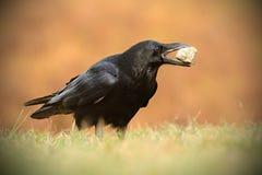 Общий ворон - corax Corvus Стоковое Изображение