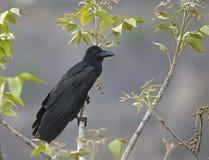 Общий ворон (Corvus Corax Linnaeus) Стоковое Изображение