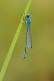 Общий голубой Damselfly Стоковое Изображение RF