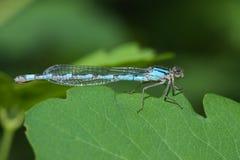 Общий голубой Damselfly Стоковая Фотография RF
