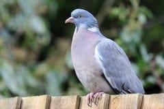 Общий голубь сидеть на загородке Стоковое фото RF