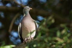 Общий голубь, голубь, palumbus колумбы стоковое фото rf