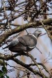 Общий голубь, голубь, palumbus колумбы стоковое изображение