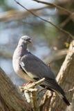 Общий голубь, голубь, palumbus колумбы стоковое изображение rf