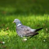 Общий голубь, голубь, palumbus колумбы стоковое фото