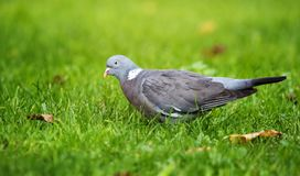 Общий голубь, голубь, palumbus колумбы стоковая фотография rf