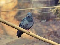Общий голубь Стоковое Изображение RF