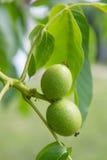 Общий грецкий орех Стоковое Фото