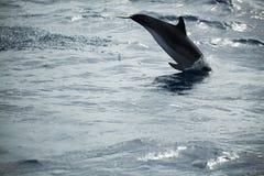 Общий дельфин скача в Атлантический океан Стоковые Фото