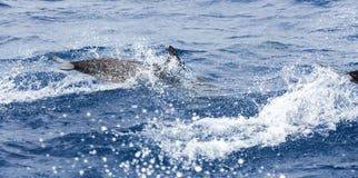 Общий дельфин скача в морскую воду Стоковое Изображение RF