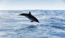 Общий дельфин скачет в Атлантический океан Стоковые Фото