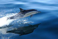 общий дельфин 3 4 Стоковые Фотографии RF