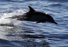 Общий дельфин около Сан-Диего Стоковые Изображения RF
