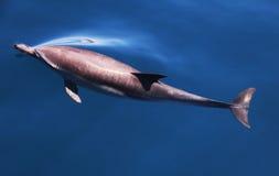 Общий дельфин под водой ломая поверхность Стоковое Изображение