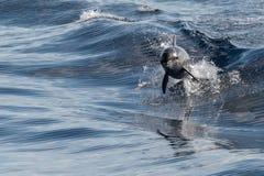 Общий дельфин скача вне голубого океана Стоковое Изображение RF