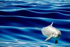Общий дельфин скача вне голубого океана Стоковая Фотография