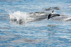 Общий дельфин скача вне океана Стоковое Изображение RF