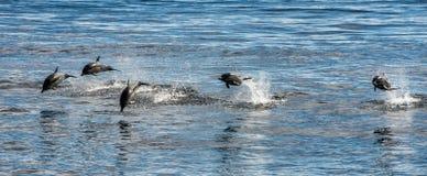 Общий дельфин скача вне океана Стоковые Фотографии RF