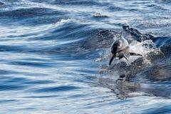 Общий дельфин скача вне океана Стоковые Фото