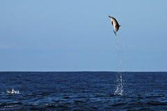 Общий дельфин скача очень высоко Стоковое Изображение RF