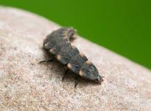 Общий зарев-червь, личинка noctiluca Lampyris на утесе Стоковая Фотография RF