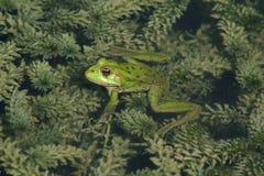 общий зеленый цвет лягушки Стоковая Фотография RF