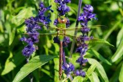 общий зеленый цвет dragonfly darner Стоковые Изображения RF