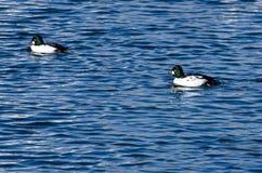 Общий золотой глаз Ducks заплывание на воде Стоковое фото RF