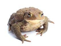 Общий изолят жабы (bufo Bufo) на белизне Стоковое Фото