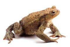 Общий изолят жабы (bufo Bufo) на белизне Стоковые Фотографии RF