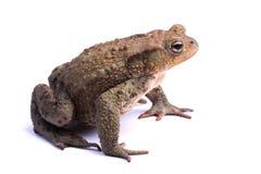 Общий изолят жабы (bufo Bufo) на белизне Стоковая Фотография