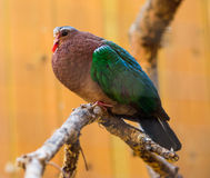 Общий изумрудный голубь сидеть на ветви Стоковая Фотография