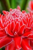 общий имбирь цветка Стоковые Изображения RF