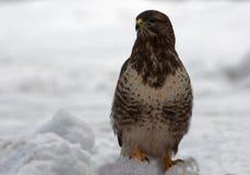 Общий канюк в зиме Стоковая Фотография RF