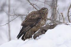 Общий канюк канюка канюка на снеге в зиме Стоковые Изображения RF