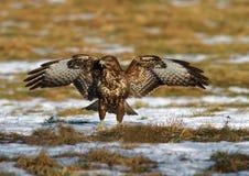 Общий канюк с распространенными крылами Стоковое Фото