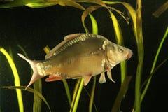 Общий карп, пресноводная рыба carpio Cyprinus Стоковое Изображение RF