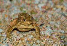 Общий конец-вверх жабы Стоковые Изображения RF