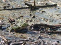 Общий конец-вверх лягушки воды Стоковые Фото