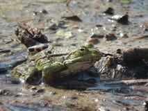 Общий конец-вверх II лягушки воды Стоковые Изображения