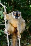 Общий коричневый lemur, остров lemur, andasibe Стоковое Фото