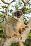 Общий коричневый lemur, остров lemur, andasibe Стоковые Фотографии RF