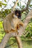 Общий коричневый lemur, остров lemur, andasibe Стоковые Изображения RF