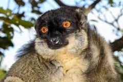 Общий коричневый lemur, остров lemur, andasibe Стоковая Фотография