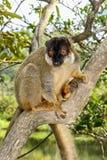Общий коричневый lemur, остров lemur, andasibe Стоковое фото RF