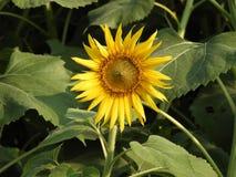 Общий красивый солнцецвет Стоковые Фото