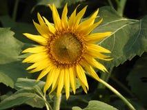 Общий красивый солнцецвет Стоковое Фото