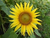 Общий красивый солнцецвет Стоковая Фотография RF