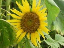Общий красивый солнцецвет Стоковые Изображения