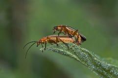 Общий красный жук воина стоковая фотография